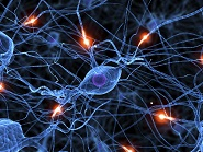 Neural Networks and Myelination Define our Brain